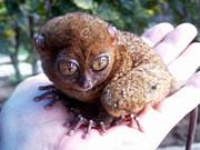 フィリピン セブ島の魅力世界で一番小さい猿